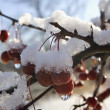 Crabapples Covered In Snow And Ice, Quebec, Canada — Stock Photo