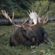 Bull Moose (Alces Alces) — Stock Photo