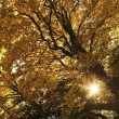Sun Shining Through Golden Leaves On A Tree — Stock Photo