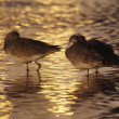 Stock Photo: Willets (TringSemipalmata) Sleeping With Bills Tucked In At Sunset