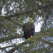 Bald Eagle (Haliaeetus Leucocephalus) Perched On A Branch — Stock Photo
