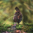 Stock Photo: Ruffed Grouse On Mossy Log In Rainforest