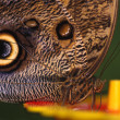Closeup Of Owl Butterfly — Stock Photo