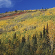 Autumn Aspens (Populus Tremuloides) On Mountain Slope — Stock Photo