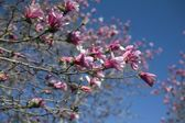 Flowering Loebner Magnolia Tree — Stock Photo