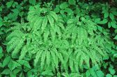 Northern Maidenhair Ferns Surrounded By Nettle And Spring Foliage — Stock Photo