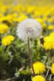 Close-Up Of Seeding Dandelion, Alberta, Canada — Stock Photo