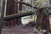Coastal Redwood Forest Of Santa Cruz County — Stock Photo