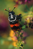 Black And Red Carion Beetle On Plant — Stock Photo