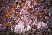Rosa fiori di ciliegio — Foto Stock