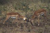 Impala (Aepyceros Melampus) Bucks Sparring — Stock Photo