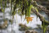 кленовый лист, свисающие ветви дерева — Стоковое фото
