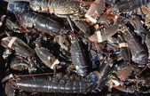 Pile Of Lobsters, Burnmouth, Scottish Borders, Scotland — Stock Photo