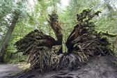 Upturned Old Growth Douglas-Fir Tree Stump — Stock Photo