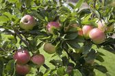 Apples On The Apples Tree — Stock Photo