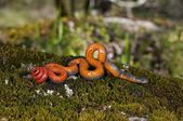 Pacific Ring-Necked Snake — Stock Photo