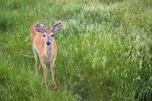 White-Tailed Deer In Green Grass — Stock Photo