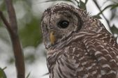 Juvenile Barred Owl (Strix Varia) — Stockfoto