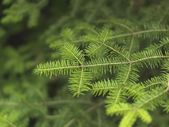 Branches Of An Evergreen Tree — Stock Photo
