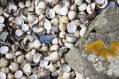 Abundance Of Seashells Beside A Rock — Stock Photo