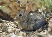 Young Cottontail Rabbit — Stock Photo