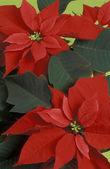 Poinsettia flowers — Stock Photo