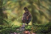 Ruffed Grouse On Mossy Log In Rainforest — Stock Photo
