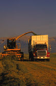 Combine And Truck Harvesting Crop — Stock Photo