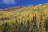 Autumn Aspens (Populus Tremuloides) On Mountain Slope — Stock Photo