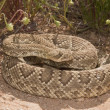 Rattlesnake — Stock Photo #31950027