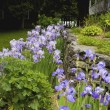 Iris In A Garden — Stock Photo
