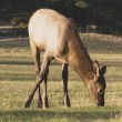 Elk (Cervus Canadensis) In A Field — Stock Photo