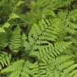 Fern Leaves — Foto Stock