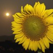 Sunflower — Stock fotografie #31950739