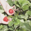 Kids Hands Holding Strawberries — Stock Photo