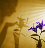 Shadow Of Woman With Flower — Stock Photo
