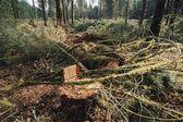 Stump And Slash In Logging Area — Stock Photo