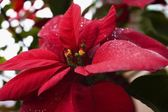 Close-Up Of Poinsettia Plant — Stock Photo