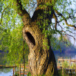 Hollow willow — Foto Stock