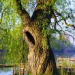 Foto Stock: Hollow willow