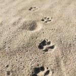 Dog's footprint — Stock Photo
