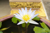 Water lily blooming over water and leaves — Stock Photo