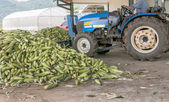 Heap of fresh corns harvested by a tractor in a farm — Stock Photo