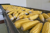 Fresh corns on transmission belt in factory — Photo