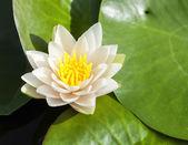 Tropical Lotus Flower — Stock Photo