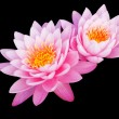 Tropical Lotus Flower — Stockfoto