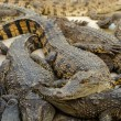 Sleeping crocodiles — Stock Photo