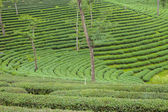 Tea plantations in Thailand. — Stock Photo