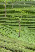 Tea plantations in Thailand. — Stock Photo