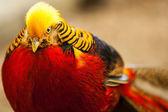 Pheasant — Stock Photo